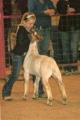 2012 San Angelo Reserve Cham;pion in Class Wether Goat