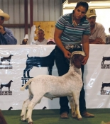 2009 Grand Champion Buck , Texas Wether Buck and Doe Show